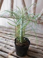モンキーツリー観葉植物3号サイズ苗