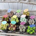 カラフル多肉植物 おまかせ2.5号サイズ 3株セット タニクショクブツ
