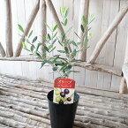 オリーブ アスコランド 3.5号サイズ 苗 高さ40cmセンチ 細長い葉 グリーン 観葉植物 室内
