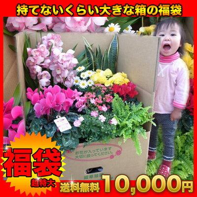 送料無料★超特大びっくり福袋!季節の鉢花を持てないくらい大きな箱で!洋蘭も入る/母の日 早...