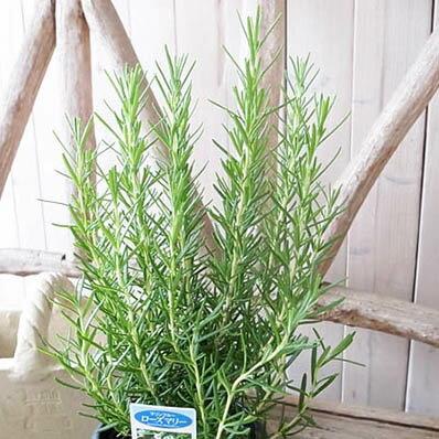 ローズマリー マリンブルー 4号サイズ ハーブ鉢植え ローズマリー