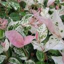 初雪カズラ ハツユキカズラ 白ピンクに染まる新芽が美しいリーフ植物 初雪カヅラ ハツユキカズラ苗 ハツユキカヅラ 植物 グリーン