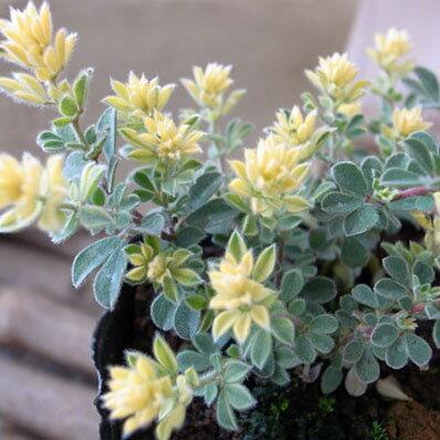 ロータスブリムストーン苗 半常緑多年草 新芽は黄色と美しい植物 イエロー 黄色 グリーン 緑