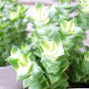 多肉植物 クラッスラ ミナミジュウジセイ 3.5号サイズ 鉢植え タニクショクブツ 多肉女子 クラッスラの仲間で星の王子の斑入り種になります【ラッキーシール対応】