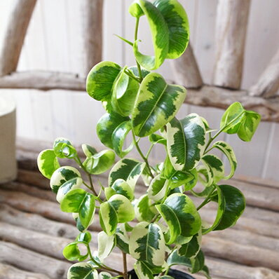 ベンジャミン シタシオン斑入り 観葉植物 室内インテリア グリーン 緑 シタシオン 3.5号サイズ 希少種