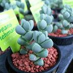 コルプスクラリア レーマニー 可愛い 多肉植物 タニクショクブツ 2.5号サイズ