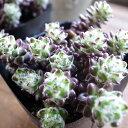 多肉植物 ポーチュラカ ウエルデルマニー 観葉植物 タニクショクブツ 3号サイズ【ラッキーシール対応】