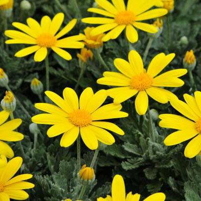 ユリオプスデージー 花苗 花芽付き 黄色 イエロー 黄色 花期も長く周年楽しめる花 ユリオプス デージー 販売 通販 種類