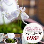 ウサギゴケ【うさぎ苔】♪うさぎそっくりの可愛いお花!耳もあるし目もあるうさぎちゃん鉢花食虫植物多年草こけ苔コケ鉢植え販売通販種類
