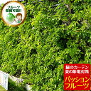 パッションフルーツ苗 緑のカーテン グリーンカーテン 時計草 夏の節電対策に トケイソウ 日よけ 3号サイズから3.5号サイズ