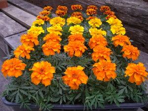 送料無料!土にこだわった生産直売の花壇苗です!生産直売!マリーゴールド40個詰め合わせ