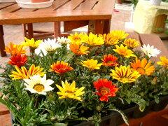 送料無料!土にこだわった生産直売の花壇苗です!生産直売!ガザニア(多年草)24個詰め合わせ