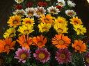 送料無料!土にこだわった生産直売の花壇苗です!生産直売!ガザニア(多年草)40個詰め合わせ