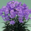 初夏に咲く美しく輝くラベンダーブルーの花カンパニュラ  パーシシフォリア  タキオンブルー苗