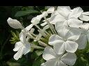 夏に輝く白さ♪ ルリマツリ  (プルンバーゴ)エスカペーダ ホワイト苗