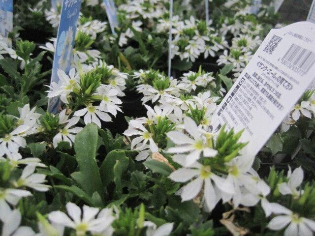 サンクエールの苗ホワイトサントリーフラワーズ暑さに強く晩秋まで咲き続ける冬の管理次第で来年も楽しめる
