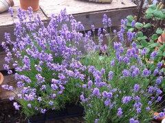 とても爽やかな香りに癒されますブルーの花を見てリラックス。。。ラベンダー アロマティコ ...