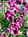 可愛らしく華やかで素敵なプレミアムビオラ♪ミルフル ワインレッドフリル