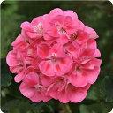 綺麗にまとまる美しい咲き姿に・・・ ゼラニウム ショーケースシリーズ ピンクウィズアイ