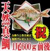 祝い鯛山形県産天然真鯛1尾600g前後冷蔵