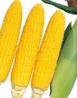 【取寄せ】野菜種とうもろこし(スイートコーン)ゴールドラッシュ882000粒サカタ交配