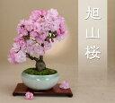 今シーズンの花は終わりました【送料無料】 旭山桜(一才性)小