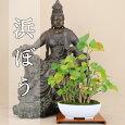 送料無料【伊予路園】三河黒松/小品盆栽/山取り木/レビューでおまけプレゼント