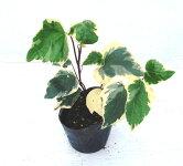 ヘデラカナリエンシスバリエガータ斑入り葉