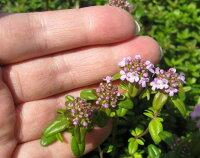 タイムロンギカウリスの花