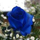 青いバラ ブルーローズ 誕生日 ...