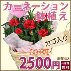 【2sp_120502_a】 カーネーション鉢植え3号(かご付)【母の日】【送料無料】【母の日…