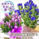 敬老の日 リンドウ プレゼント 鉢植え 色が選べる ブルー ...