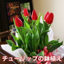 ホワイトデー チューリップ 鉢 鉢植え 花 送料無料 色が選べる チューリップの鉢植え 5号 寄植え 植木鉢 おしゃれ flower 深さ サイズ 植え方 育て方 ホワイトデー 花 ギフト フラワー