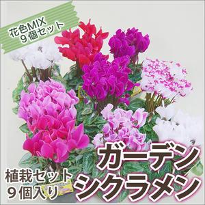 ガーデンシクラメンミニシクラメン植栽セット