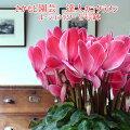 【母の日ギフト2015】アジサイ【ポージィビビアン】さかもと園芸
