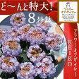 フラワーオブザイヤー受賞今年日本の最高の花という栄誉【さかもと園芸】 達人のあじさいケイコブルー ケイコピンク8号鉢母の日 送料無料アジサイ 紫陽花 花鉢植えKEIKO ケイコ けいこ