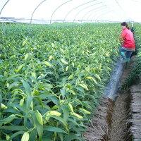 送料込【朝取りカサブランカ】生産農家の朝採り切り花5本(4〜7、8輪)規格外7月中頃〜11月予定