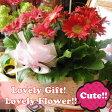 母の日 ギフト ガーベラ 鉢植え 花言葉は感謝♪ ◆母の日ギフト プレゼント 鉢植え 花鉢