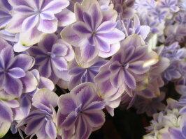 母の日プレゼント鉢植え万華鏡あじさいブルー◆母の日ギフト花鉢あじさい万華鏡