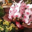 胡蝶蘭 鉢植え ◆ギフト 花鉢 かわいい胡蝶蘭 花言葉は幸福が飛んでくる♪