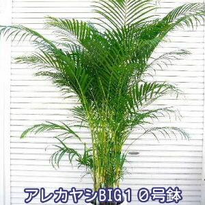 アレカヤシ BIG10号鉢 なんと7980円! 法人宛て送料300円引き! 人気観葉植物