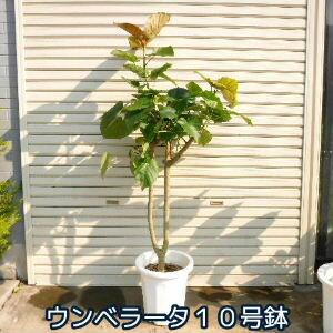 フィカス・ウンベラータ 10号鉢 なんと5980円 ハートの葉っぱが人気