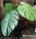 ■モンステラ/カフェス インテリア (インテリアに最適な観葉植物。消臭...