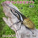 送料無料!【超大型!ヘラクレスオオカブト成虫 オス 160〜162ミリ(ヘラクレスヘラクレス)】外国産 カブトムシ 昆虫 生体 ペット プレゼントに