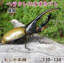 送料無料!【ヘラクレスオオカブト成虫 オス 130〜134ミリ(ヘラクレスヘラクレス)】外国産 カブトムシ 昆虫 生体 ペット プレゼントに