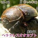 送料無料!【ヘラクレスオオカブト成虫メス70〜72mm(ヘラクレスヘラクレス)】 カブトムシ 外国産 ペット 昆虫 生体 その1