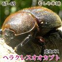 送料無料!【ヘラクレスオオカブト成虫メス67〜69mm(ヘラクレスヘラクレス)】 カブトムシ 外国産 ペット 昆虫 生体 その1