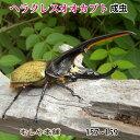 送料無料!【超大型!ヘラクレスオオカブト成虫 オス 157〜159ミリ(ヘラクレスヘラクレス)】外国産 カブトムシ 昆虫 生体 ペット プレゼントに