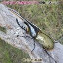 送料無料!【ヘラクレスオオカブト成虫 オス 135〜139ミリ(ヘラクレスヘラクレス)】外国産 カブトムシ 昆虫 生体 ペット プレゼントに