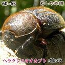 送料無料!【ヘラクレスオオカブト成虫メス60〜63mm(ヘラクレスヘラクレス)】 カブトムシ 外国産 ペット 昆虫 生体 その1